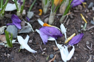 squirrel destroyed crocuses