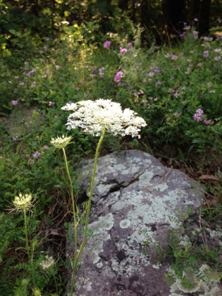 Queen Anne's Lace not in the sun