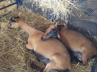 sleepy goats
