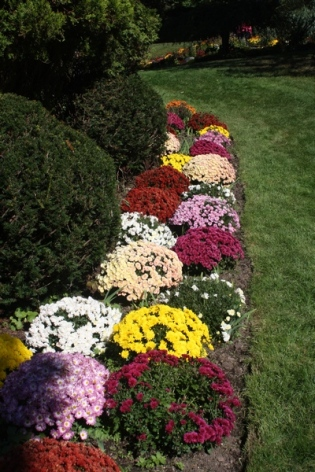 border of mums
