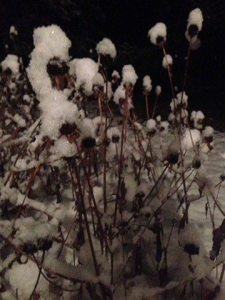 snow covered black eyed Susans