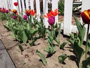 tulip strip