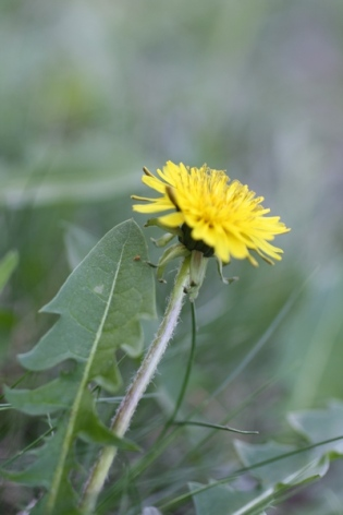dandelion with leaf