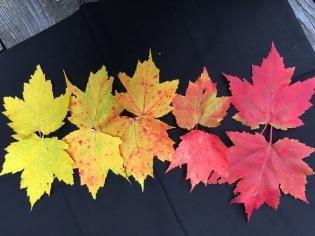double leaf rainbow