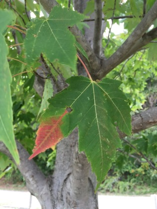 red tipped maple leaf