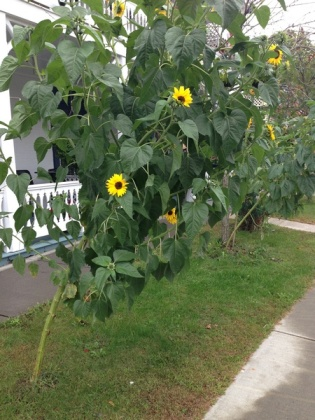 sunflower tree