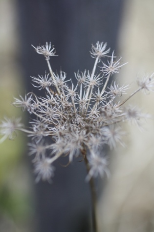 dead Queen Anne's Lace