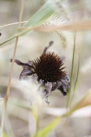 dead coneflower