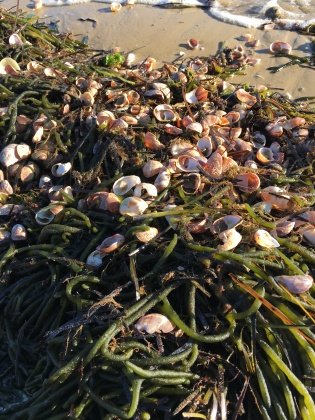 Shells and seaweed