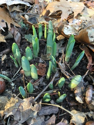 growing daffodils