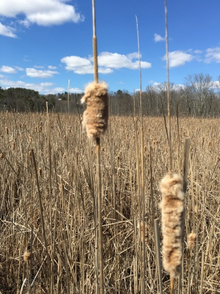 Dried cattails
