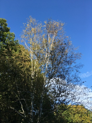Birch in the sun
